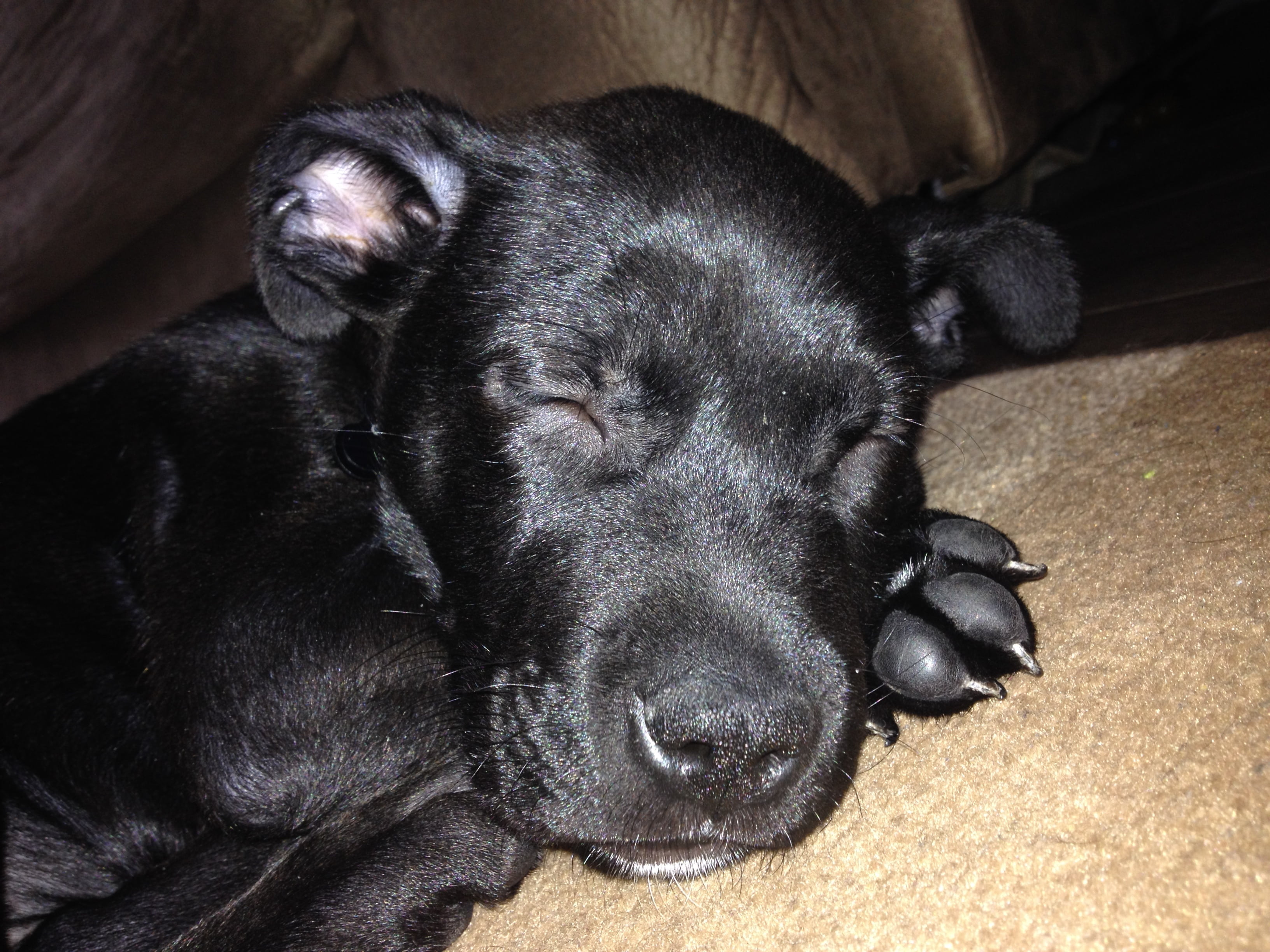 Sleeping Black Lab Cross Puppy