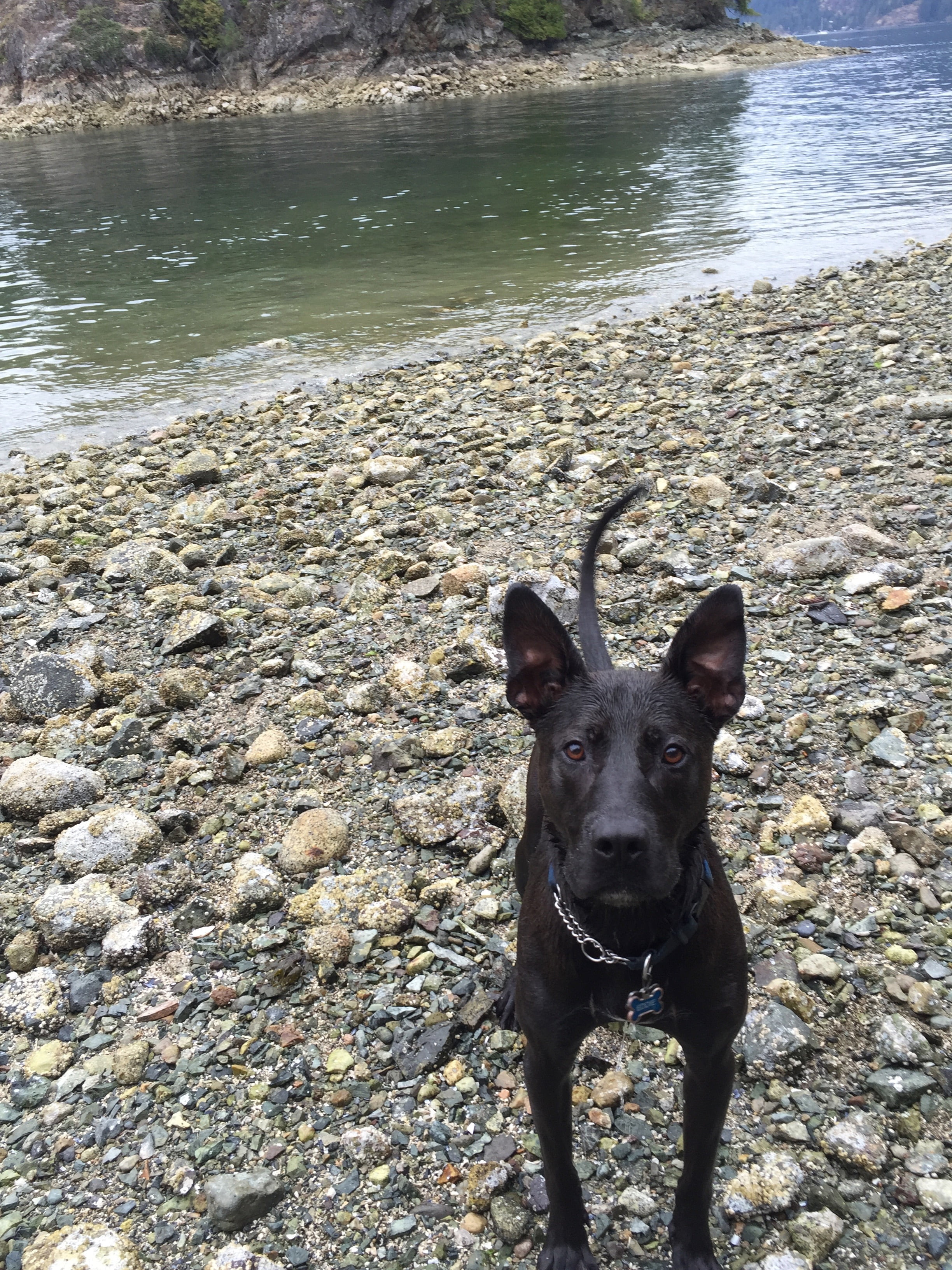 Black Dog Looking at Camera on Rocky Beach
