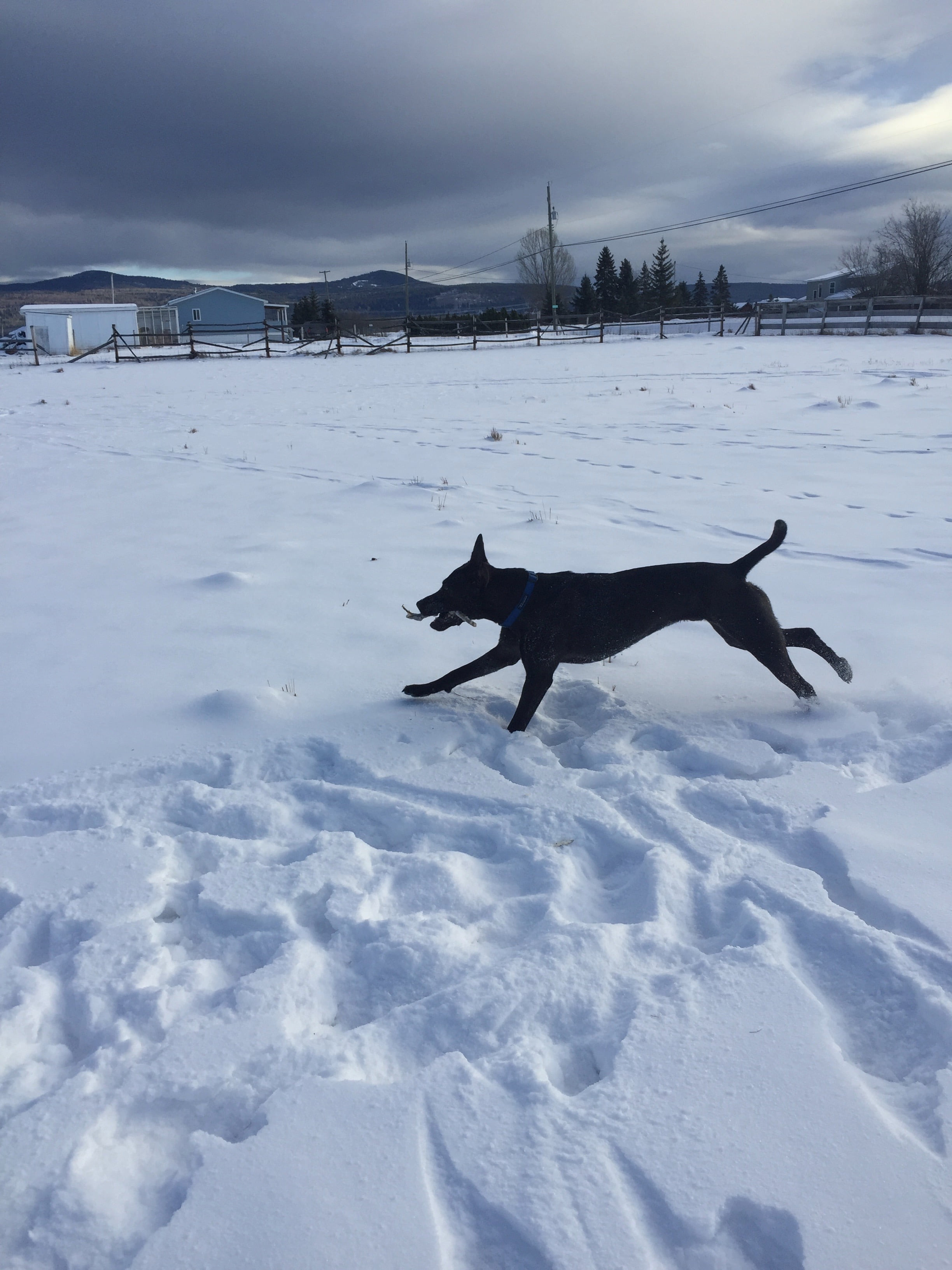 Dog Playing in Snow with Stick