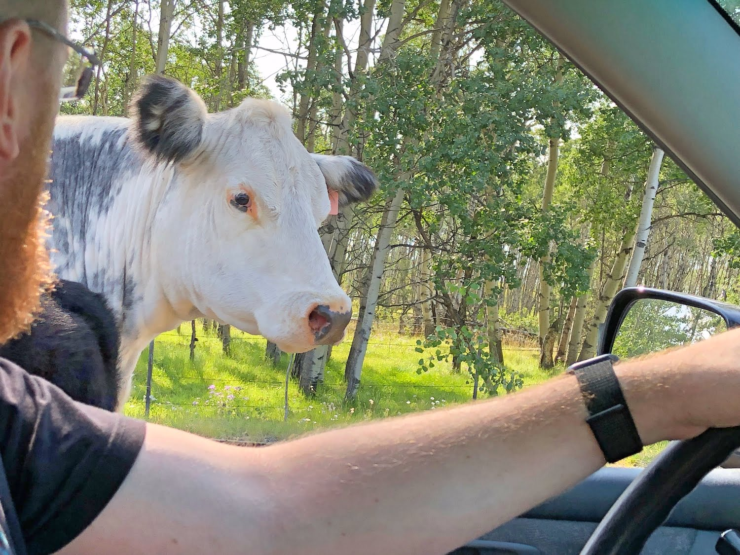 Driving Past Cow