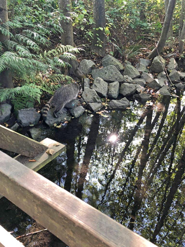 Racoon at Como Lake Park