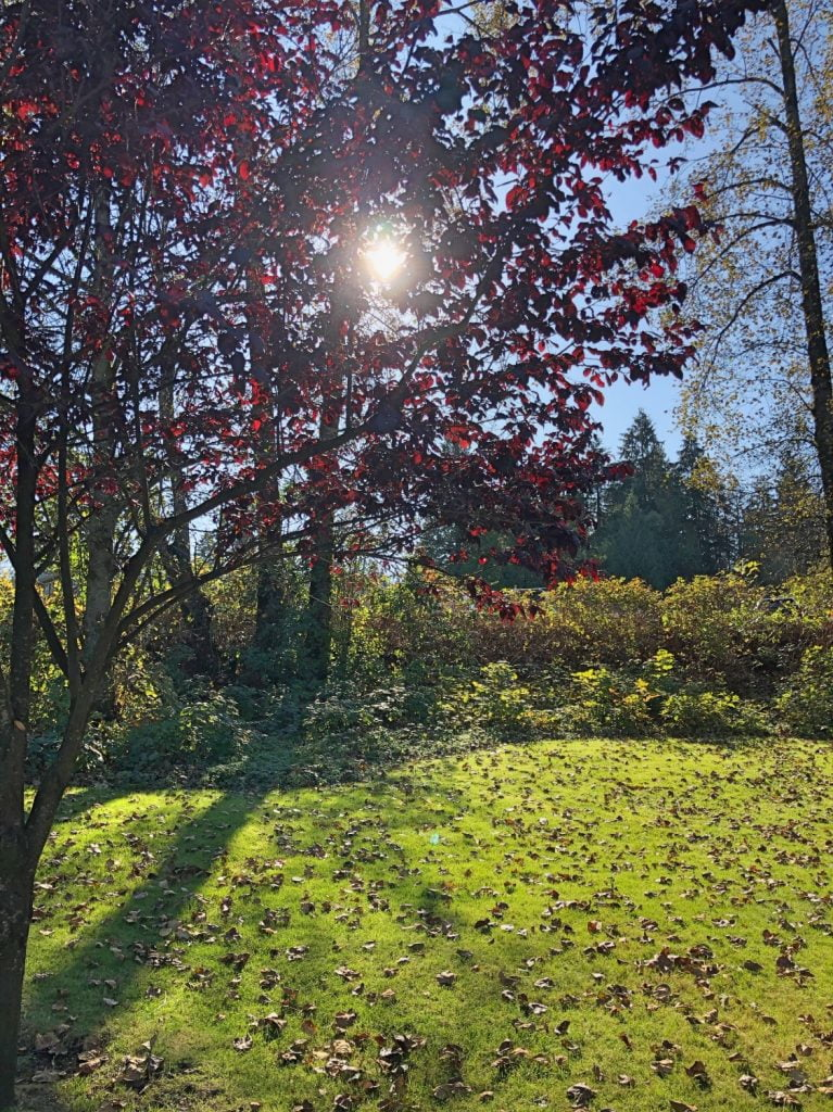 Sun Peeking Through Red Leaves on Tree on Autumn Day