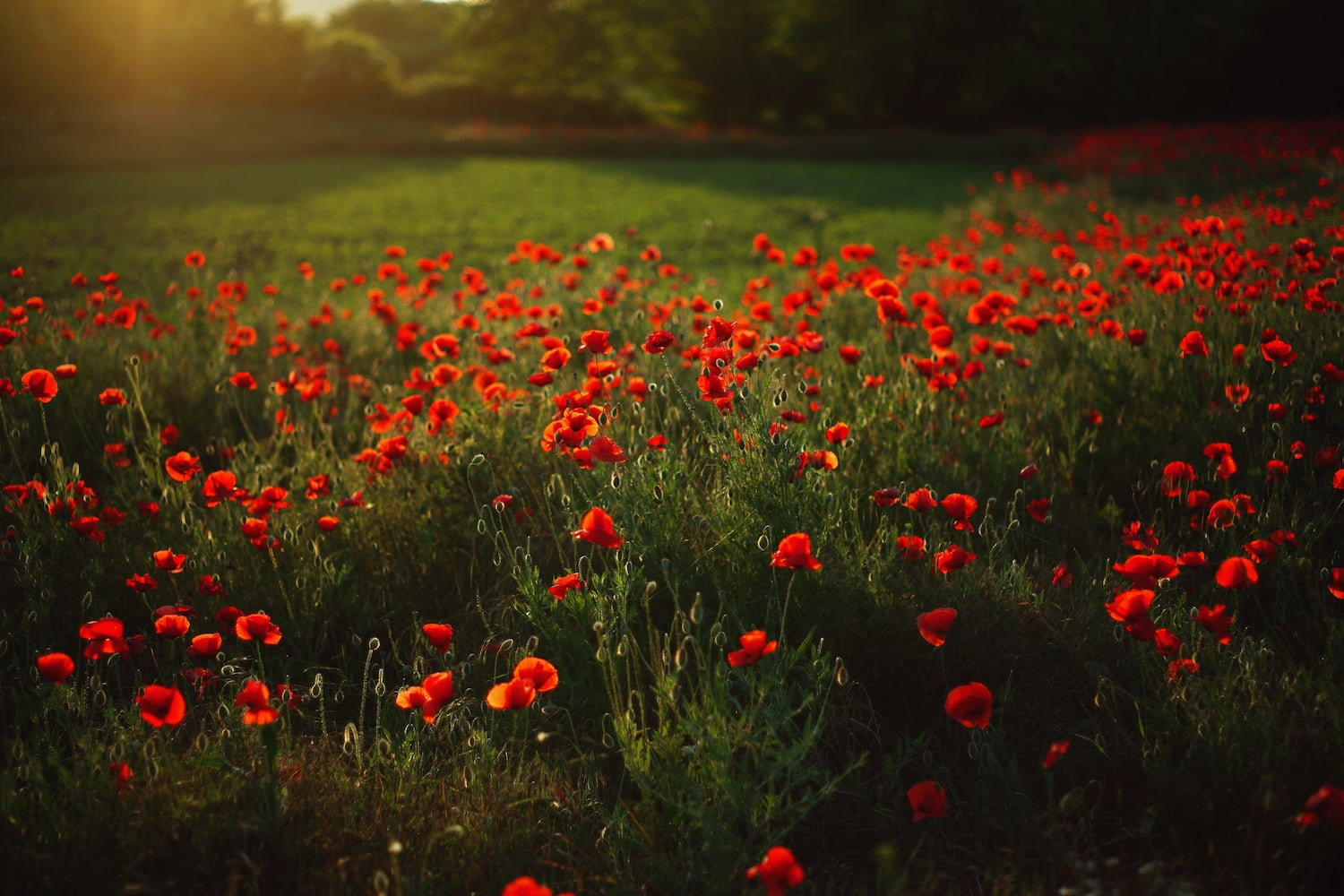 Field of Poppies - Unsplash Photo by Evgeniy Gorbenko