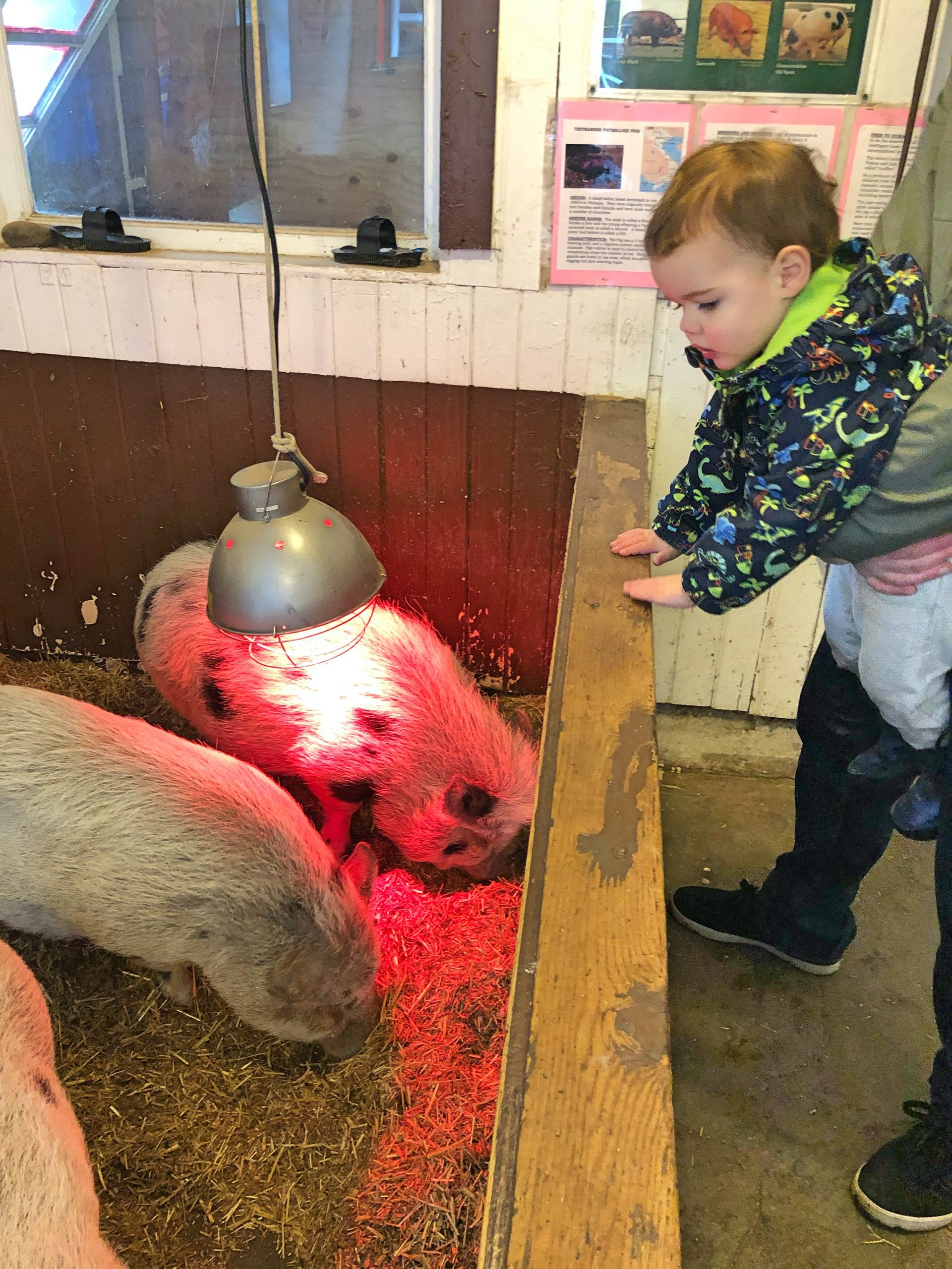 Pigs at Maplewood Farm