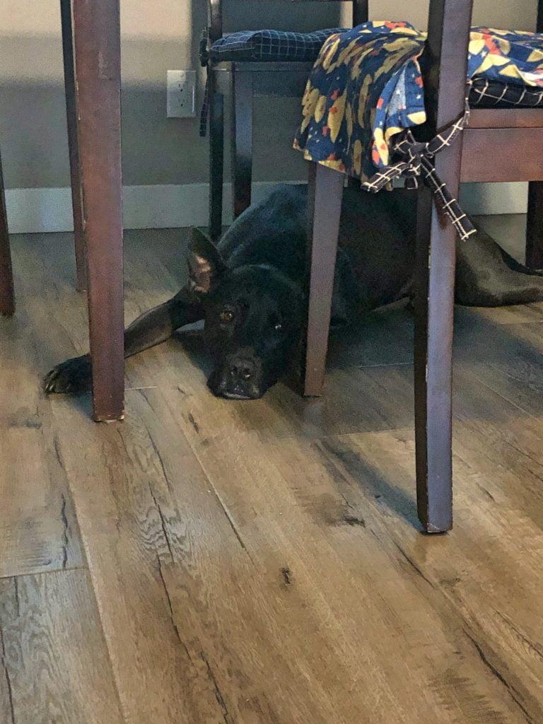Large Black Dog Resting Under Dinner Table